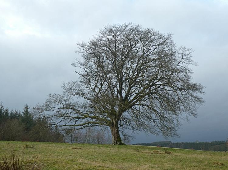 hollws road tree