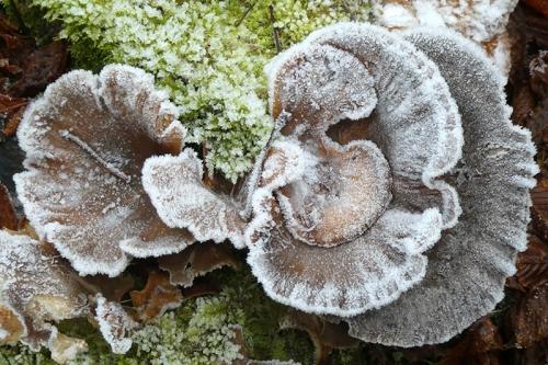 iced fungus