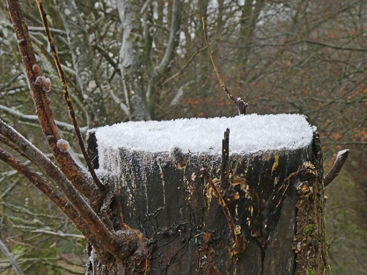 iced gtree trunk
