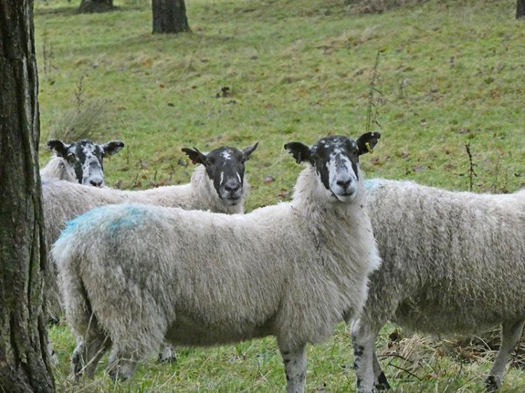 inquisitive sheep castleholm