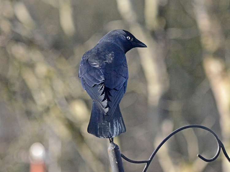 jackdaw on pole