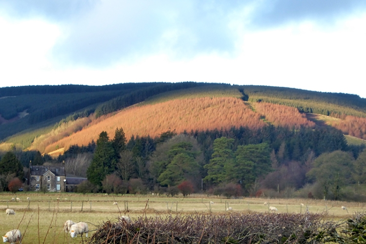 larches at Westwater