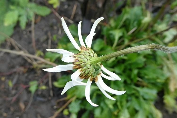 last daisy