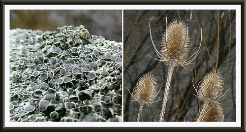 lichen and teazle