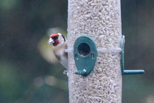 lone goldfinch