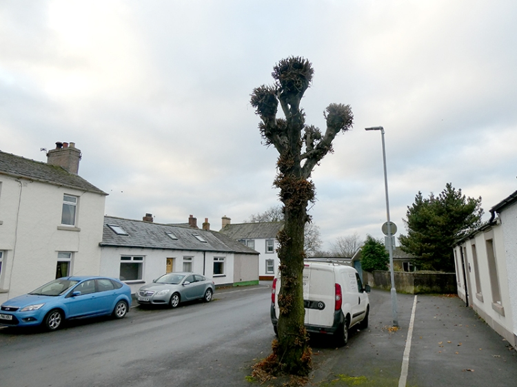 lopped tree Longtown