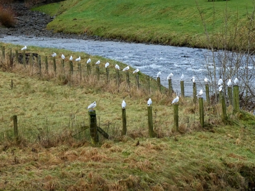 many gulls on posts