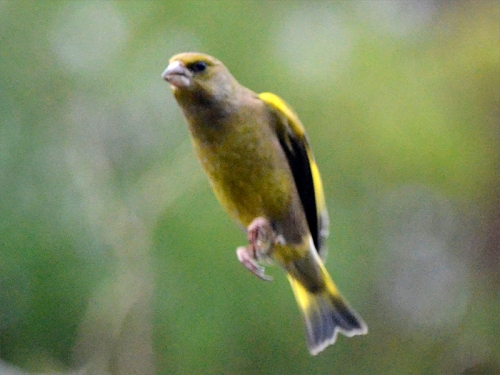 no wings greenfinch