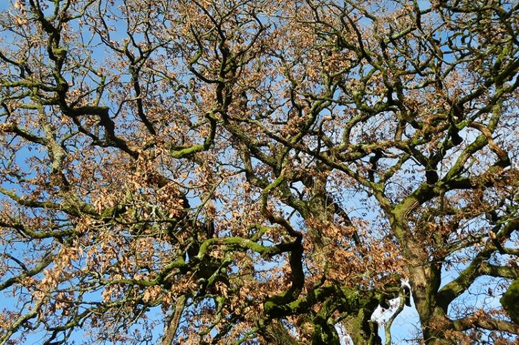 oak banches