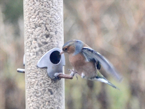 one footed chaffinch landing
