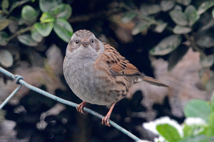 other of dunnock pair