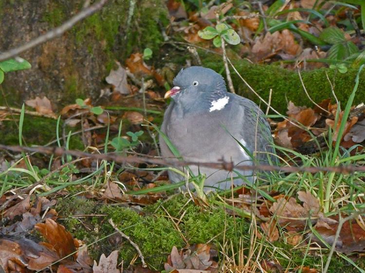 pigeon in wood