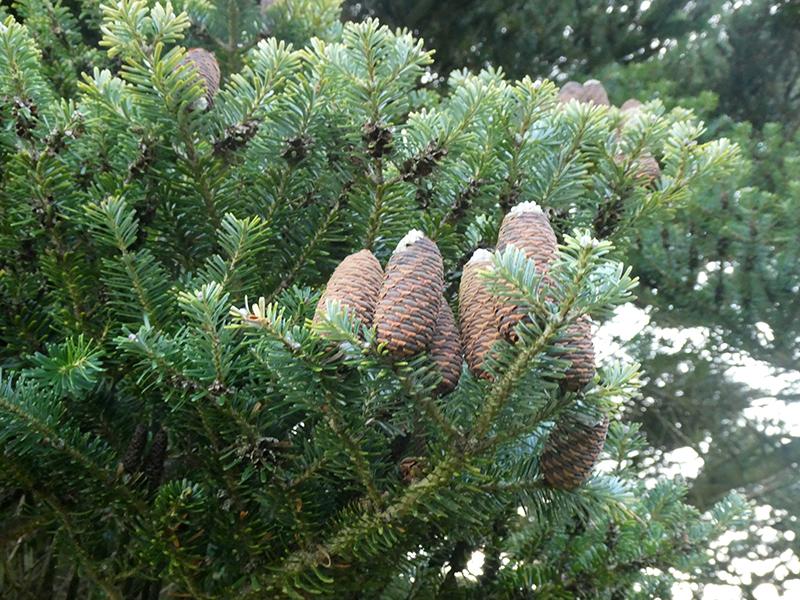 pine tree canonbie