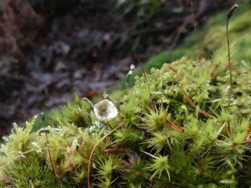 pixie cup on mossy wall