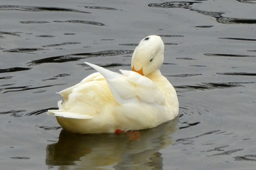 preening white duck