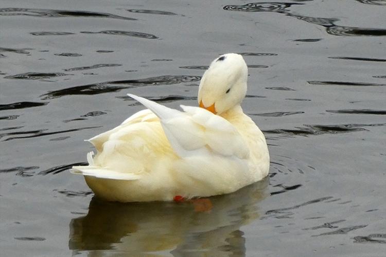 preening white duck