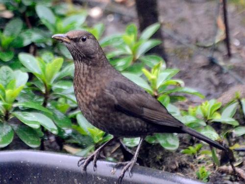 proud blackbird