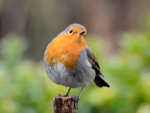 quizzical robin on stalk