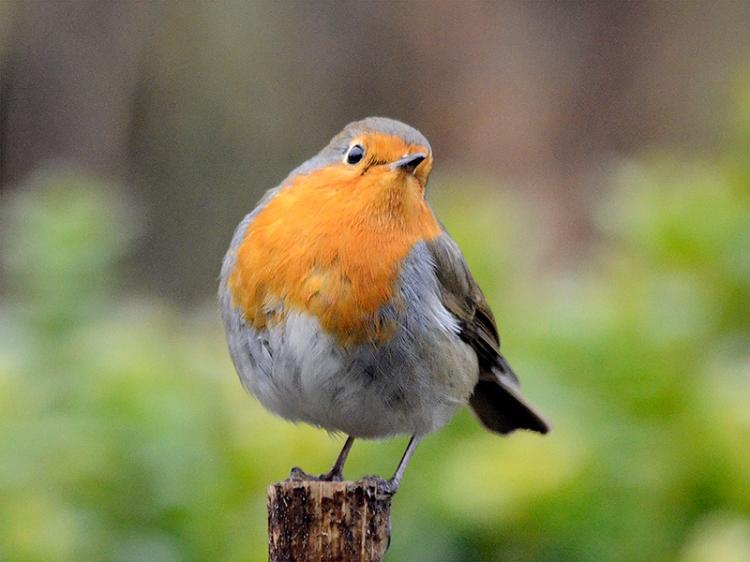 quizzical robin on stalk