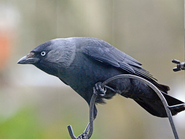 quizzocal jackdaw