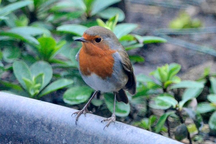 robin looking left