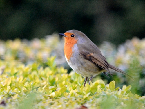 robin on hedge