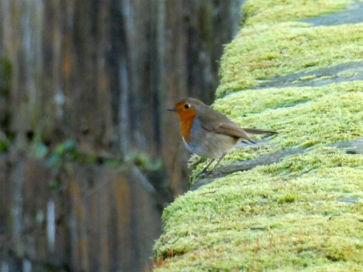 robin on sawmill brig