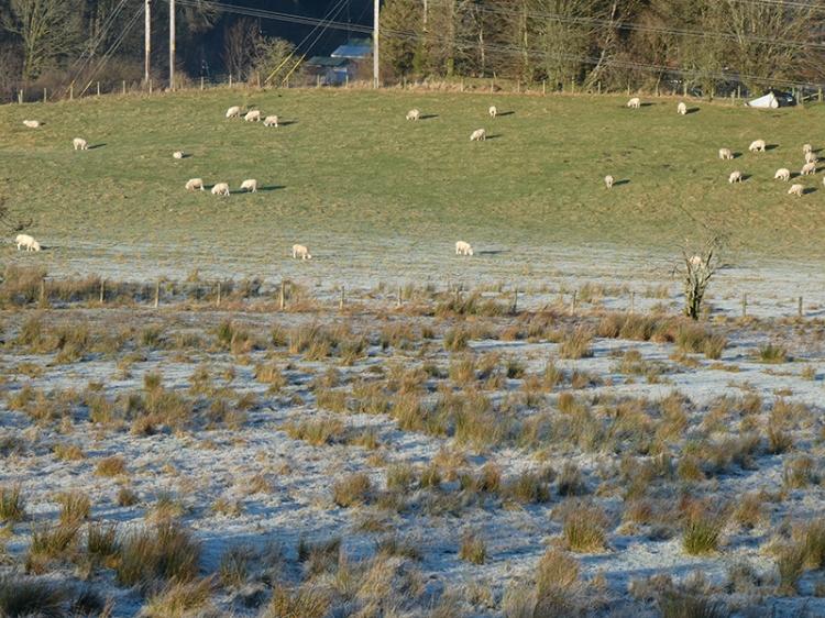 sheep in sunshine