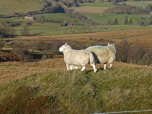 sheep on knoll