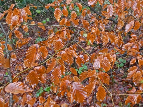 shiny beech leaves