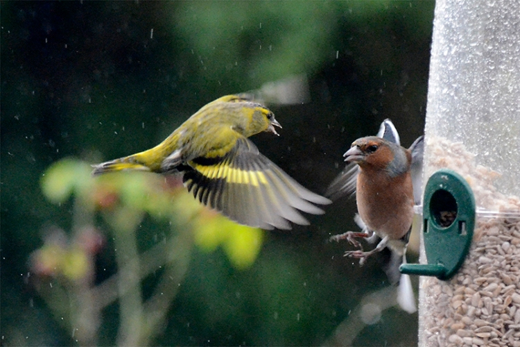 siskin and chaffinch sparring