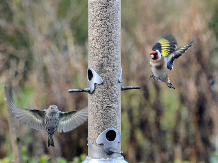 siskin and goldfinch incoming