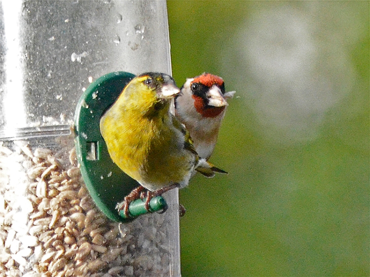 siskin and goldfinch looking