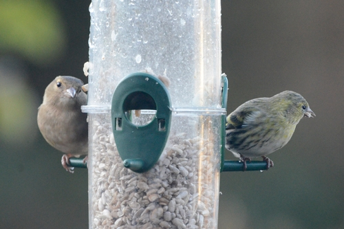 siskin and other bird