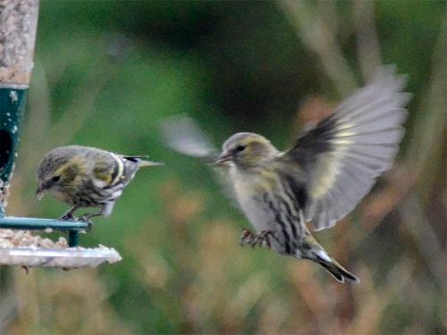 siskin coming to feeder