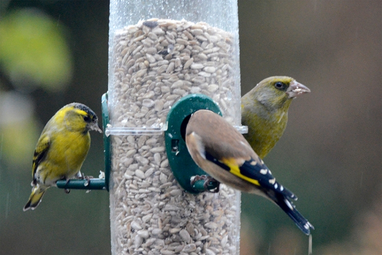 siskin goldfinch greenfinch