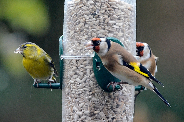 siskin goldfinches
