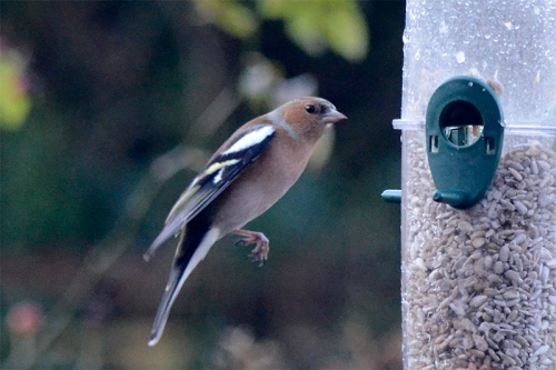 sloped flying chaffinch