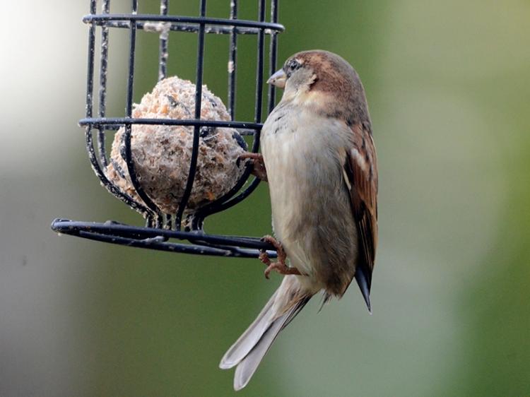 sparrow on fat ball