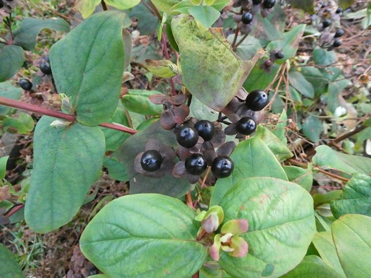 st johns wort berries