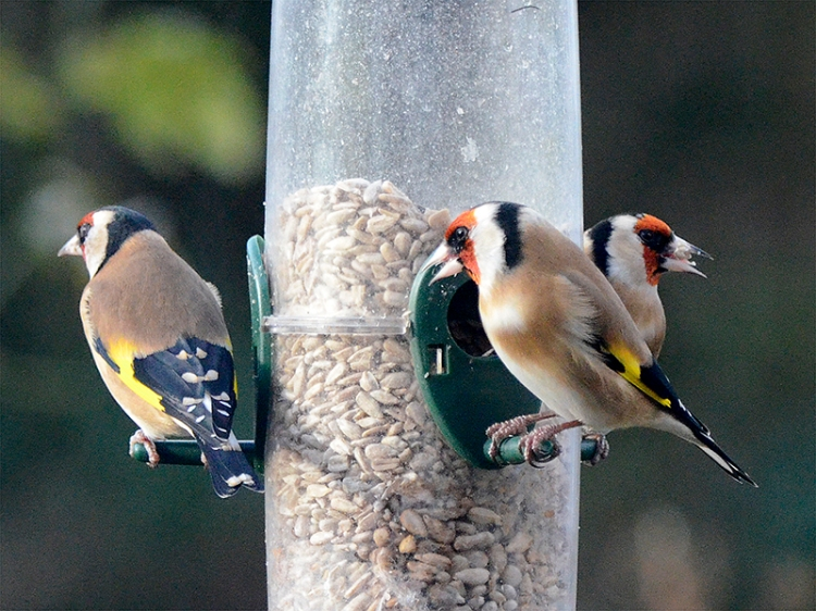 three goldfinches