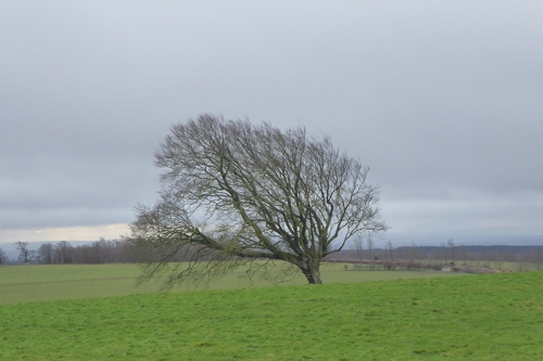 tree chapelhill
