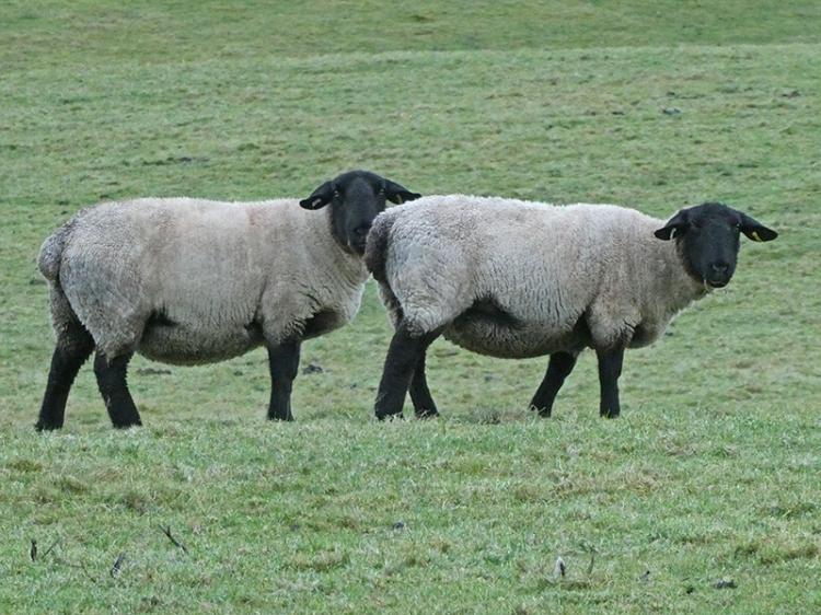 two blackfaced sheep