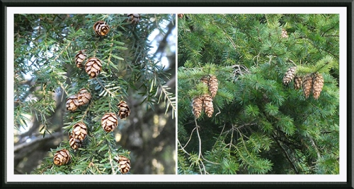 two conifers