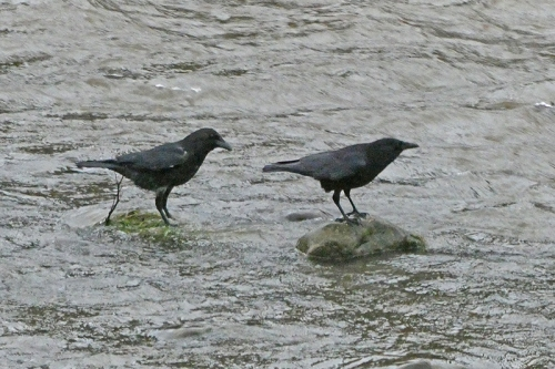 two crows in the water