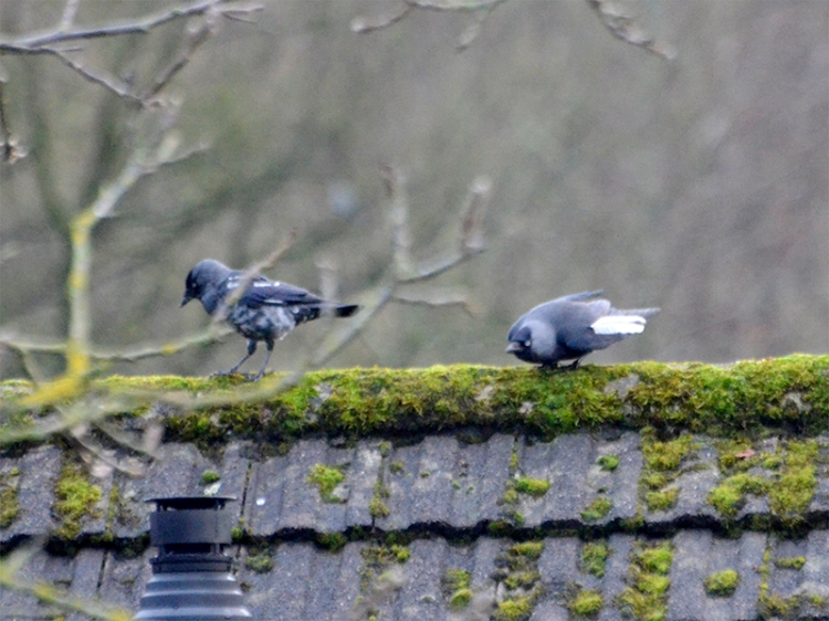 two jackdaws with white feathers