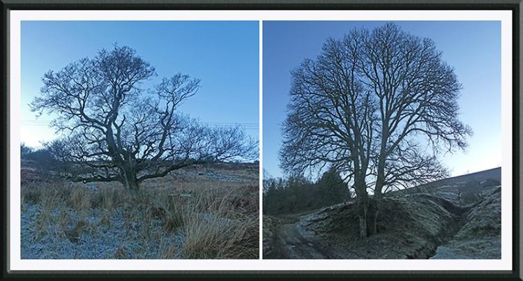 two warbla trees