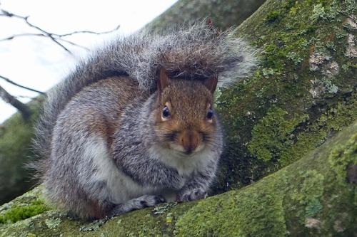 venetia's squirrel