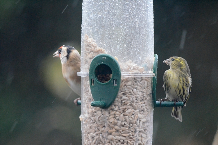 wet goldfinch and siskin