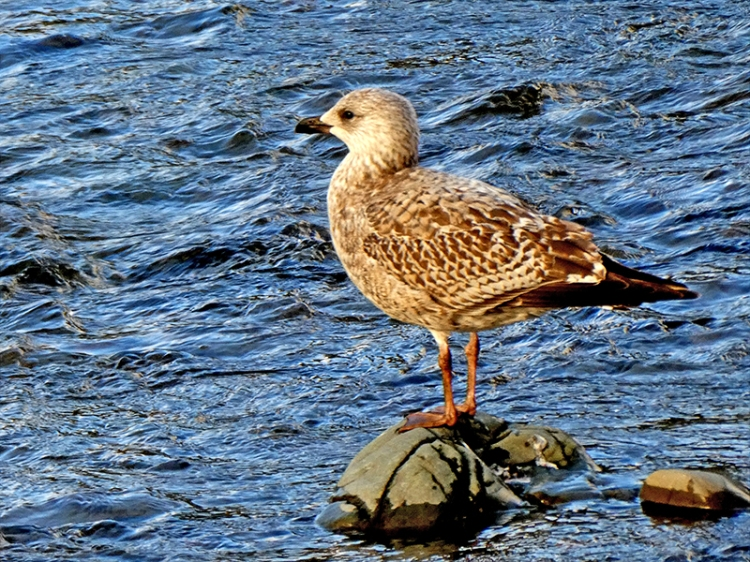 young gull